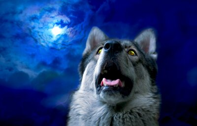 Fotomural Lobo / Lobo à noite, selecione foco nos olhos. Retoque digital.