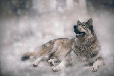 Fotomural Lobo / lobo agradável no fundo da neve.