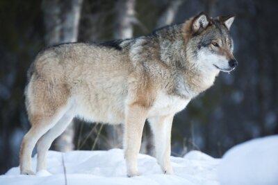 Fotomural Lobo que está na floresta de inverno frio