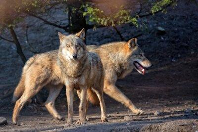 Fotomural Lobos, selvagem