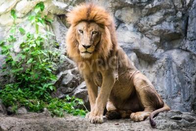 Fotomural Macho, leão, deitando, rocha