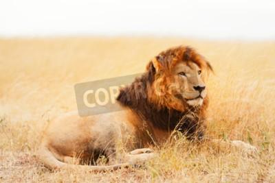 Fotomural Macho, leão, mentindo, capim, pôr do sol, Masai, mara, kenya