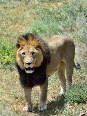 Fotomural Macho, leão, namíbia