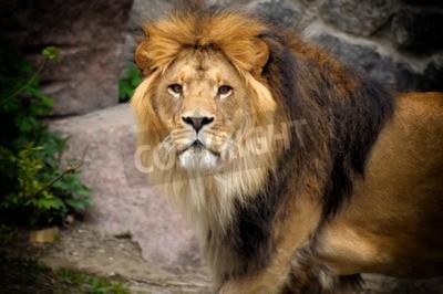 Fotomural Macho, leão, olhar, saída, rochoso, afloramento