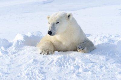 Fotomural Mãe do urso polar que sai recém-aberta para