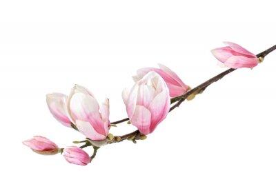 Fotomural Magnolia filial flor isolado em um fundo branco