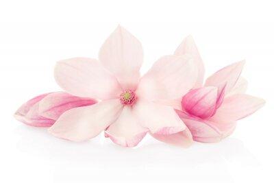 Fotomural Magnolia, flores cor de rosa e botões grupo no trajeto do branco, escorando