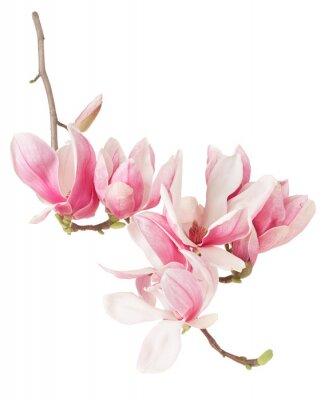 Fotomural Magnolia, primavera-de-rosa filial flor e botões no branco, trajeto de grampeamento