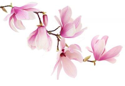 Fotomural Magnólia primavera rosa do ramo