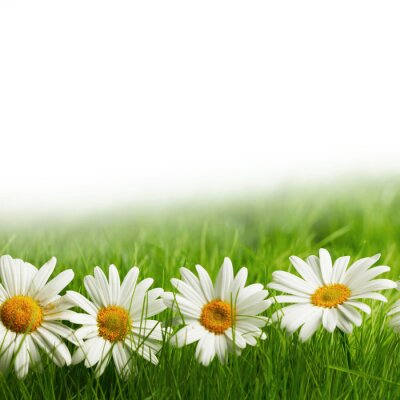 Fotomural Margarida branca floresce na grama verde