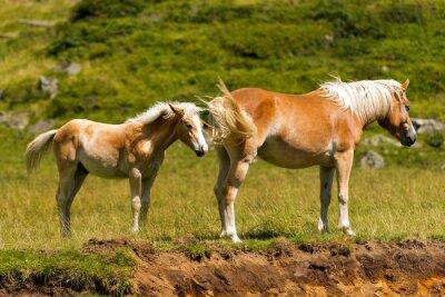 Fotomural Marrom e égua branca com potro / Brown e cavalo branco com potro na montanha. Parque Nacional de Adamello Brenta, Trentino Alto Adige, Itália