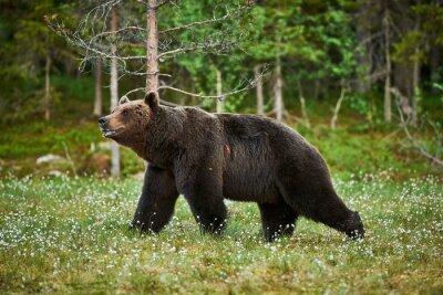 Fotomural Masculino urso marrom