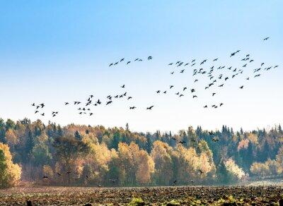 Fotomural Migração de gansos canadenses
