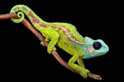 Fotomural Mount Hanang Chameleon (Trioceros hanangensis)