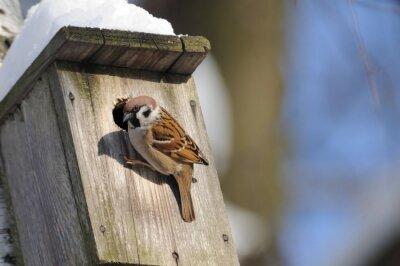Fotomural No final do inverno, o Tree Sparrow