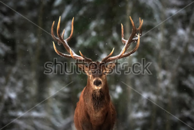 Fotomural Noble deer male in winter snow forest.