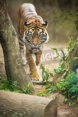 Fotomural O close up de um tigre Siberian igualmente sabe como o tigre de Amur (altaica do tigris do Panthera), o gato vivo o maior