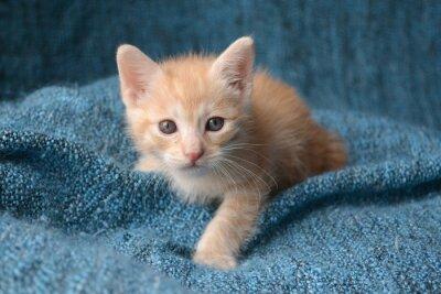 Fotomural O gatinho pequeno bonito no fundo azul cobertor
