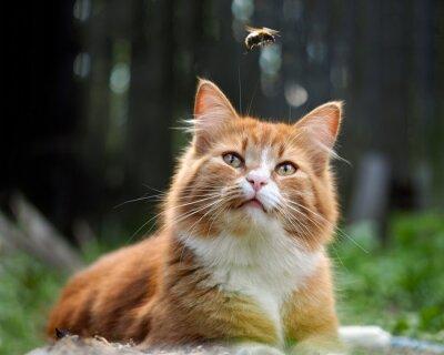 Fotomural O gato está observando o vôo do zangão. Gato grande, vermelho e fofo. Conceitualmente - animais recreação ao ar livre. O gato caça para insetos. Insetos e alergias em animais