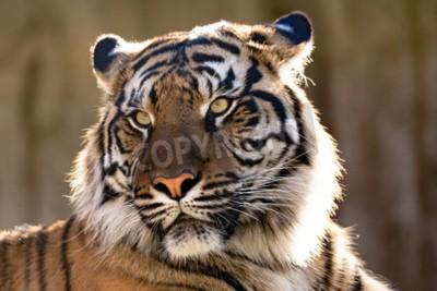 Fotomural O tigre de Sumatran (Panthera tigris sumatrae) é uma subespécie rara do tigre que habite a ilha indonésia de Sumatra