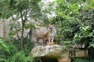 Fotomural O tigre é uma taxa feroz.