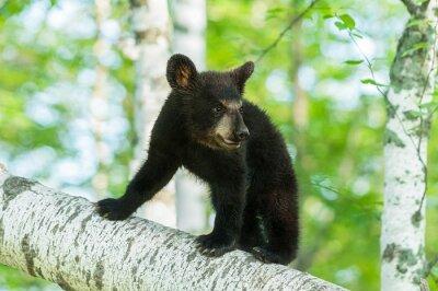Fotomural O urso Cub preto (Ursus americanus) gira sobre a filial