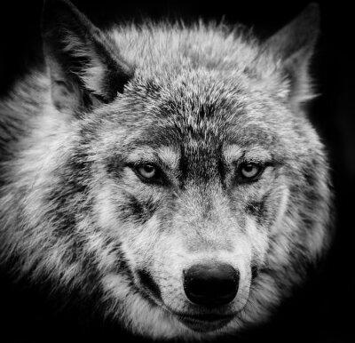 Fotomural Olhos do lobo, Um tiro preto e branco da cabeça de um lobo.