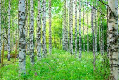 Fotomural Opinião da floresta do vidoeiro do verão de Sotkamo, Finlândia.
