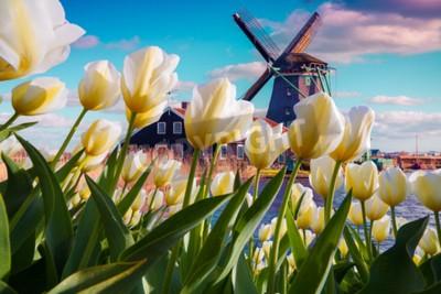 Fotomural Os moinhos de vento holandeses famosos entre a tulipa branca de florescência florescem. Cena exterior ensolarada nos Países Baixos. Beleza do fundo do conceito de campo. Colagem criativa.