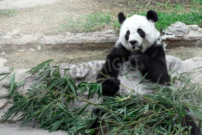 Fotomural Panda adorável comer bambu