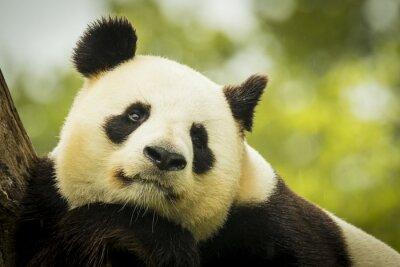 Fotomural Panda awake
