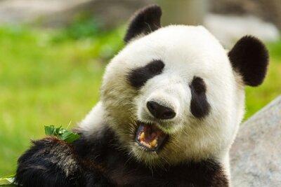 Fotomural Panda bear eating bamboo