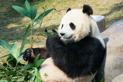 Fotomural Panda comendo bambu