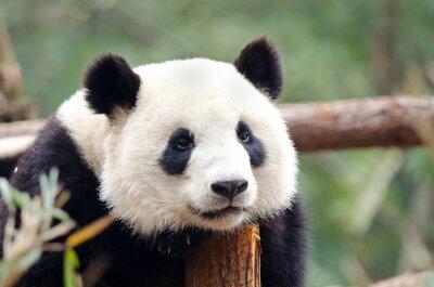 Fotomural Panda gigante -, Cansado, entediado Pose de vista triste. Chengdu, China