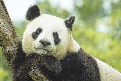 Fotomural Panda Portrait