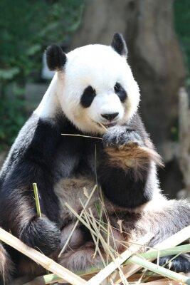 Fotomural Panda urso comer bambu