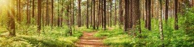Fotomural Panorama da floresta do pinho no verão. Caminho no parque