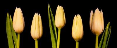 Fotomural Panorama de tulipa branca