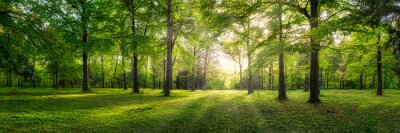 Fotomural Panoramic view of a forest with sunlight shining through the trees