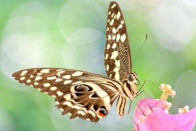 Fotomural Papillon sur fleur de bougainvillée