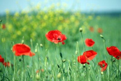 Fotomural Papoilas, flor, paisagem, primavera, estação