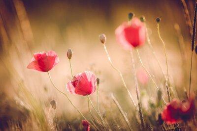 Fotomural Papoilas no campo do verão da natureza com luz dourada / fundo do verão / primavera fundo brilhante