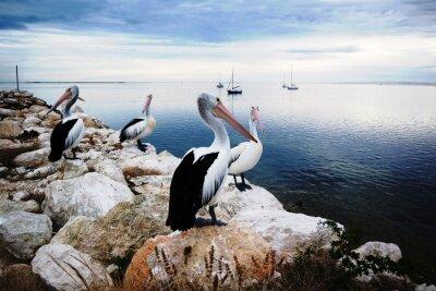 Fotomural Pelicanos, canguru, ilha, austrália