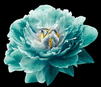 Fotomural Peony flower turquoise on the black isolated background with clipping path. Nature. Closeup no shadows. Garden flower.