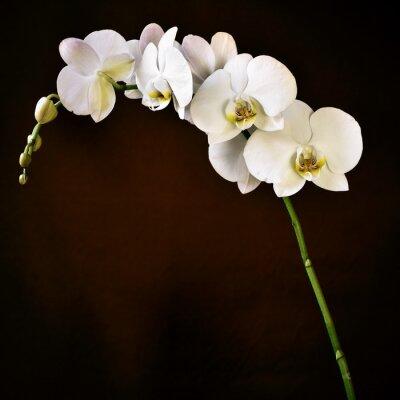 Fotomural Phalaenopsis afrodite