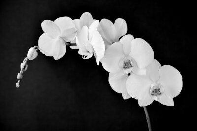 Fotomural Phalaenopsis aphrodite orchid, em preto e branco