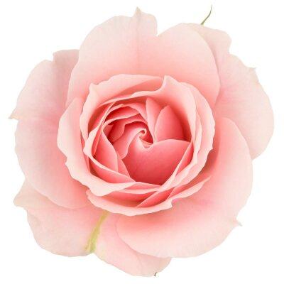 Fotomural Pink rose close-up, isolado no branco