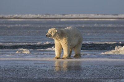 Fotomural Polar Bear verificando as coisas
