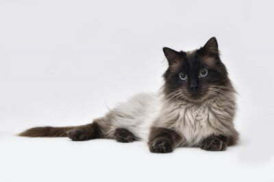 Fotomural ponto do selo do gato de Ragdoll