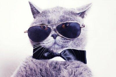 Fotomural Portrait of British shorthair gray cat wearing sunglasses